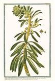 Botanisk tappningillustration av den Tithymalus frutescensväxten Royaltyfria Bilder