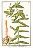 Botanisk tappningillustration av den Tithymalus latifoliusväxten Arkivfoton
