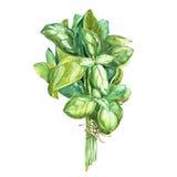 Botanisk teckning av en basilikaavgångsklasselev Härlig illustration för vattenfärg av kulinariska örter som används för att laga stock illustrationer