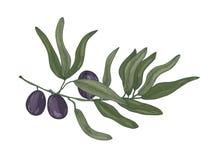 Botanisk teckning av filialen för oliv- eller OleaEuropaea träd med sidor och svarta frukter eller stenfrukter som isoleras på vi vektor illustrationer
