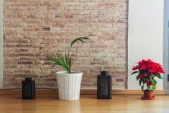 Botanisk växt för blommaPoinsetta detalj royaltyfria foton