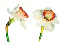 Botanisk vattenfärg för påsklilja Arkivbilder