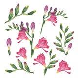 Botanisk vattenfärgillustration av freesia på vit bakgrund royaltyfri illustrationer