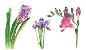 Botanisk vattenfärgillustration av hyacinten, freesia och irins på vit bakgrund Kunde användas för rengöringsdukdesign vektor illustrationer