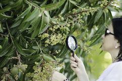 Botanist checking the growth of mango flowers Stock Photos