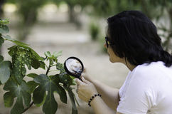 Botanist finding leaf galls on the figs tree. Woman botanist finding leaf galls on the figs tree with magnifying glass Stock Photos
