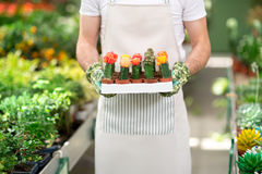 Botanist holding cactuses with flowers Stock Image