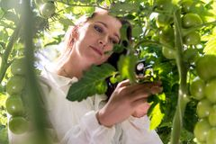 Botanist inspecting tomato plants. Botanist with a magnifying glass, inspecting the leafs of a tomato plant for lice for a herbology research project Stock Photo