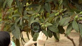 Botanist looking at loquat tree stock video