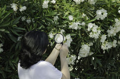 Botanist watching the oleander flowers on the tree. Woman botanist watching the white oleander flowers on the tree with magnifying glass Stock Photography