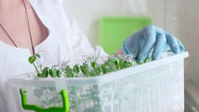 Botanist woman checking agricultural crops in laboratory stock video