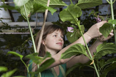 Botanist Working In Greenhouse. Young female botanist working in greenhouse Royalty Free Stock Images