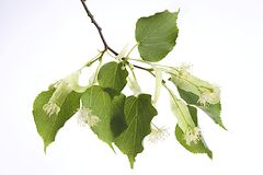 Botany - Bough of Linden flowers isolated on white background Stock Photos