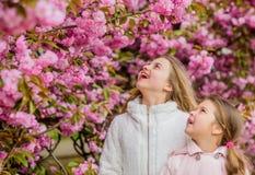 Botany concept. Kids enjoying cherry blossom sakura. Flowers soft pink clouds. Children enjoy warm spring. Girls posing. Near sakura. Lost in blossom. Kids on royalty free stock photo