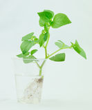 The botany of plant. For Absorption and Photosynthesis testing stock photo