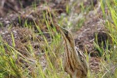 欧亚苦汁(Botaurus stellaris)。 免版税库存图片