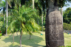 Botella árbol-palmae-palma-subtropical Fotos de archivo libres de regalías