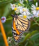 Boter de vlieg dichte omhooggaand van de monarch Stock Afbeeldingen
