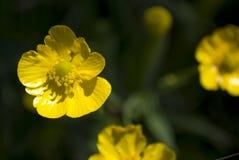 Boterbloem in de tuin Royalty-vrije Stock Afbeelding