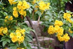 Boterbloemen Stock Foto