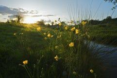 Boterbloemen Royalty-vrije Stock Fotografie