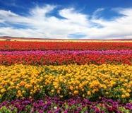 Boterbloemen bloeiende tuin Royalty-vrije Stock Foto
