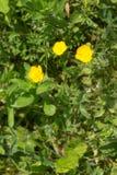 Boterbloemen in de Zomer stock foto's