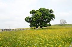 Boterbloemen op gebied, Wetton, Engeland Royalty-vrije Stock Afbeeldingen