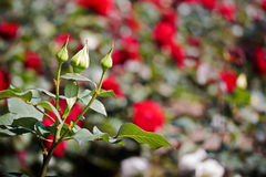 Botões cor-de-rosa do branco na mola Fotografia de Stock Royalty Free