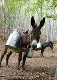 Boîtes de lait sur l'âne Photos libres de droits