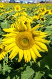 Annual Sunflower Festival. Botetourt County, VA – September 9th: A close-up of giant sunflower in the foreground and a field of sunflowers in the middle ground Royalty Free Stock Photos