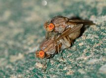 Botflies Mating Close Up Photography Stock Image