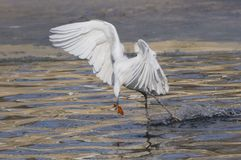 Egrets and herons Royalty Free Stock Photography
