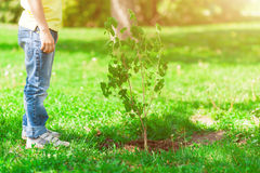 Both child and sapling are growing. Close up of boy standing near a small tree recently planted Stock Images
