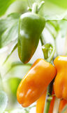 Both green and orange peppers growing on one plant Stock Photography