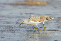 Both Marsh Sandpiper Royalty Free Stock Images