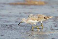 Both Marsh Sandpiper Royalty Free Stock Images