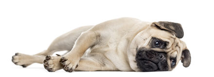 Bothered Pug lying down Stock Photo