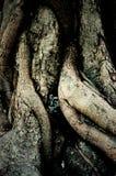 bothi树树干和根  免版税库存图片
