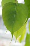 Bothi drzewo, pipal drzewo opuszcza tło Zdjęcia Stock