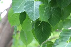 Bothi lascia a colore verde la pianta naturale alta chiusa nel backg della natura Fotografia Stock Libera da Diritti