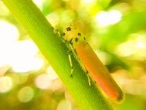 Bothrogonia ferruginea Fabricius 免版税库存图片