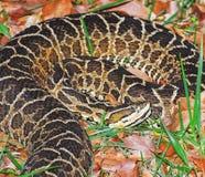 Bothrops da serpente conhecido como Jararaca em Brasil foto de stock royalty free