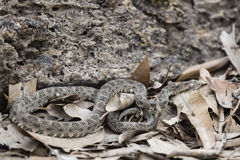 Bothrops Species Snake Camouflaged in Leaves and Dirt Royalty Free Stock Photography