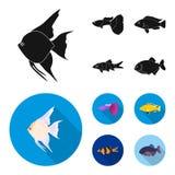 Botia, clown, piranha, cichlid, hummingbird, guppy,Fish set collection icons in black, flat style vector symbol stock. Illustration Royalty Free Stock Photo