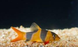 Botia fish. Royalty Free Stock Photo
