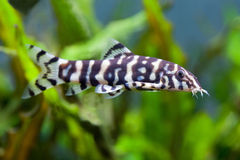 Botia fish. histronica. unusual golden zebra loach. Stock Image