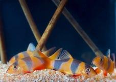 Botia fishes. Stock Image