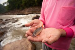 Botia or Loach in fisherman hands, beauty barbel or canine tooth near the mouth. Freshwater fish. Local fishing at Nan River,. North Thailand. Rapids stock image