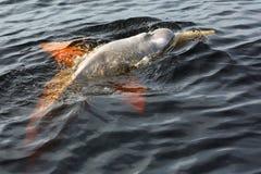 Boto海豚在内格罗河中黑暗的水域  免版税库存照片